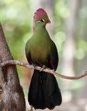Härlig tropisk fågel - Fischer& x27; s-turaco & x28; Tauraco fischeri& x29; Royaltyfri Bild