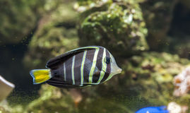 Härlig tropisk fiskfjäril-fisk Arkivbild