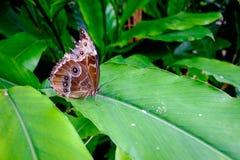 Härlig tropisk fjäril på det gröna bladet Arkivbild