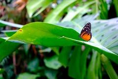 Härlig tropisk fjäril på det gröna bladet Fotografering för Bildbyråer