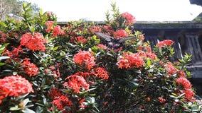 Härlig tropisk fjäril på en ljus blomningbuske lager videofilmer