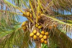 Härlig tropisk kokosnötpalmträd på en himmelbakgrund Arkivfoton