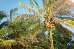 Härlig tropisk kokosnötpalmträd på en himmelbakgrund Arkivfoto
