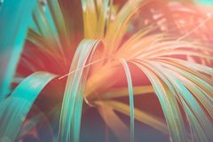 Härlig tropisk naturbakgrund Växt med långa smala dingla sidor Effekt för lutning för för Duotone korallapelsin och kricka royaltyfri bild