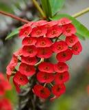 Härlig tropisk röd blomma Den ovanliga formen floror Royaltyfri Foto