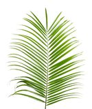 Härlig tropisk sagopalmblad royaltyfri foto