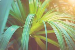 Härlig tropisk växt med länge smala dingla sidor som bildar rosetten Botanisk lövverkbakgrund Vibrerande Rich Colors sun royaltyfria bilder