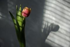 Härlig tulpan i randig skugga Arkivbild