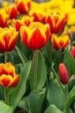 Härlig tulpan i trädgården Royaltyfria Bilder