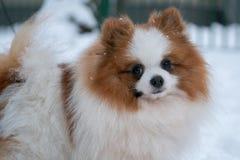 Härlig tysk Spitzhund arkivbilder
