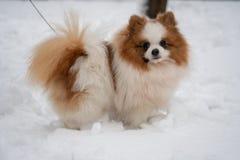 Härlig tysk Spitzhund royaltyfria bilder