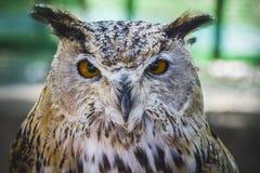 Härlig uggla med intensiva ögon och härlig fjäderdräkt Royaltyfri Bild