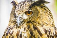 Härlig uggla med intensiva ögon och härlig fjäderdräkt Arkivfoto