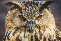 Härlig uggla med intensiva ögon och härlig fjäderdräkt Royaltyfri Fotografi