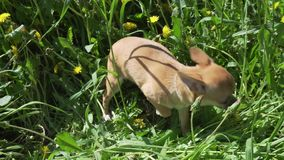 Härlig underhållande chihuahuavalp som spelar på den gröna videoen för gräsmattamateriellängd i fot räknat arkivfilmer