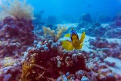 Härlig undervattens- abstrakt modellkorallrev och ett par av gula fjärilsfiskar Arkivbild
