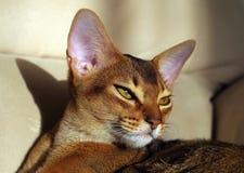 Härlig ung Abyssinian katt som ligger på soffan royaltyfri foto