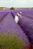 Härlig ung dam som väljer någon lavendel i lavendelfält. Pr Arkivfoton