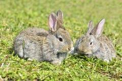 Härlig ung liten kanin på det gröna gräset i sommardag Grå kaninkanin på gräsbakgrund äter gräskanin Arkivbild