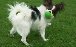 Härlig ung manlig hund kontinentala Toy Spaniel Papillon som spelar med bollen på grön gräsmatta royaltyfria bilder