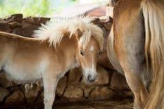 Härlig ung ponny och moder Arkivfoton