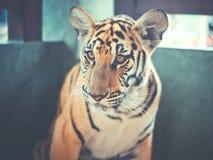 Härlig ung tiger Arkivfoto