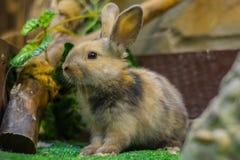 Härlig, ung, tricolor liten kanin Aveln av inhemska kaniner royaltyfri bild
