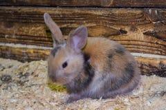 Härlig, ung, tricolor liten kanin Aveln av inhemska kaniner royaltyfri fotografi