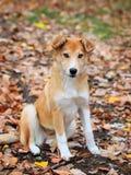 Härlig utomhus- stående av en ung röd hund royaltyfria bilder