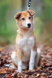 Härlig utomhus- stående av en ung röd hund fotografering för bildbyråer