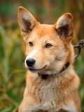 Härlig utomhus- stående av en ung röd hund arkivfoton