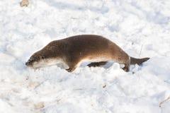 Härlig utter som spelar i snön, rolig djur framsida som begravas i snön arkivfoton