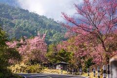 Härlig väg för körsbärsröd blomning i tropisk skog Royaltyfri Bild