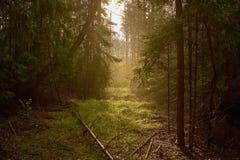 Härlig väg mellan träd i dimmig skog arkivbilder