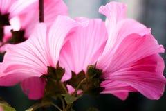 Härlig växt, blommarosor, blommaknopparna, röd blomma Royaltyfria Bilder