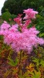 Härlig växt med en buske av rosa blommor royaltyfria foton