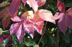 Härlig växt med röda sidor Royaltyfria Bilder