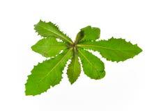 Härlig växt som isoleras på vit bakgrund royaltyfria bilder
