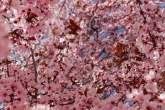 Härlig vårbakgrund av den japanska körsbärsröda blomningen arkivbilder