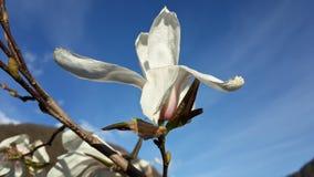Härlig vårblomning, vit magnoliablomma Arkivfoto