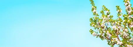 Härlig vårnaturbakgrund med plommonblomningen Royaltyfria Bilder