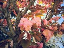 Härlig vårsakura blomning Arkivfoton