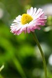 Härlig vårtusensköna, blom- bakgrund Arkivfoto