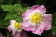 härlig våt blommapetalsrose arkivbilder