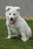 Härlig valp av den vita schweizareherden Dog Arkivbild