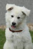 Härlig valp av den vita schweizareherden Dog Royaltyfria Bilder