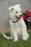 Härlig valp av den vita schweizareherden Dog Arkivbilder