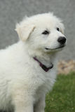 Härlig valp av den vita schweizareherden Dog Arkivfoton