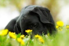 Härlig valp för fullblodsvartlabrador som ligger i sommaroutden Fotografering för Bildbyråer