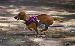 Härlig valp för gullig liten taxfrankfurterkorvhund fotografering för bildbyråer
